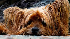 Dog, Yorkshire Terrier, Lazy Dog Stock Photo