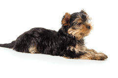 Dog Yorkshire Terrier Lying Isolated On White Background Stock Photography