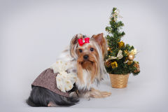 Dog Yorkshire Terrier next to Christmas tree Stock Images