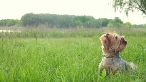 Dog yorkshire terrier playing catches with a ball in nature slow motion video. pet home lifestyle concept stock video