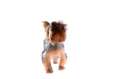 Dog Yorkshire Terrier. Puppy. Isolated on White Royalty Free Stock Images