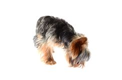 Dog Yorkshire Terrier. Puppy. Isolated on White Stock Photography