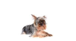 Dog Yorkshire Terrier. Puppy. Isolated on White Royalty Free Stock Photo