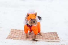 Dog Yorkshire Terrier in a red suit in winter stock image