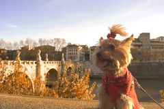 Dog yorkshire terrier in Rome