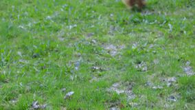 Dog yorkshire terrier playing stock video footage