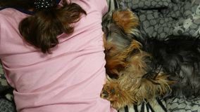 Dog Yorkshire terrier sleeping on the bed next to a pet is girl stock video footage