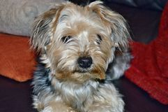 Dog Yorkshire Terrier Royalty Free Stock Images