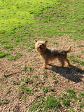 Dog: Yorkshire Terrier Royalty Free Stock Photos