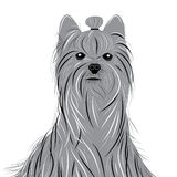 Dog yorkshire terrier vector portrait of a Domestic Dog. Cute animal head. Stock Photography