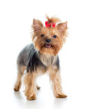 Dog yorkshire terrier on white background Stock Photos