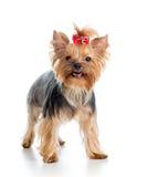 Dog yorkshire terrier on white background Stock Photos