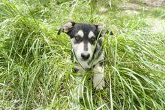 Dog, young German shepherd cross with Husky on a green young grass Stock Photo