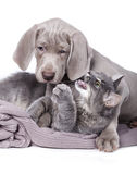 Dog and  young kitten Royalty Free Stock Photos