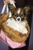 Dog in a young woman\'s bag. Young woman carrying her dog in a pink fluffy bag Royalty Free Stock Photo