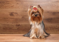 Dog. Young yorkie puppy on table with wooden texture Stock Photo