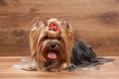Dog. Young yorkie puppy on table with wooden texture Royalty Free Stock Photos