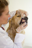 Dog with your veterinarian. Veterinarian performs a routine to a Golden Retriever Royalty Free Stock Image