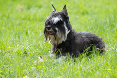 Dog of Zwergschnauzer Royalty Free Stock Photos