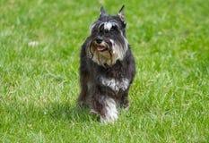 Dog of Zwergschnauzer. On a green grass Royalty Free Stock Image