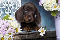 dogand цветет стоцвет Стоковые Фотографии RF
