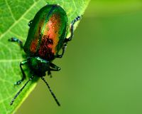 Dogbane Beetle Stock Photography