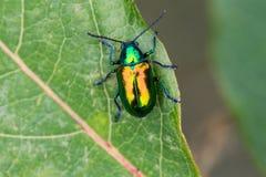 Dogbane Beetle. A Dogbane Beetle on a Dogbane Plant in Door County, Wisconsin royalty free stock photography