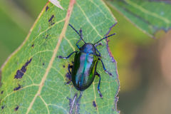 Dogbane Beetle. A variant colored Dogbane Beetle on a Dogbane Plant in Door County, Wisconsin royalty free stock images