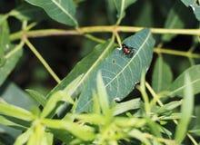 Dogbane Beetles on a leaf. Dogbane Beetles on a green leaf Stock Image