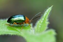 Dogbane Leaf beetle. Chrysochus auratus,   Andean forest, Ecuador Royalty Free Stock Photo
