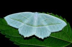 Dogbane Tiger Moth Arkivbilder