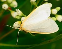 Dogbane Tiger Moth Royalty Free Stock Photos