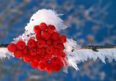 Dogberry con i fiocchi del ghiaccio Fotografia Stock