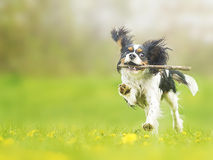 dogdancing骑士的国王查尔斯狗 库存照片