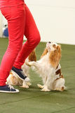Dogdancing. Women dancing with cavalier king charles spaniel Stock Photos