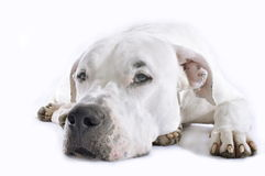 DogDeLuxe_DogPortraits54. White Argentinian Dog, Dogo Argentino portrait, Isolated On White, Lying and Looking at Camera, Studio Shoot n royalty free stock photo