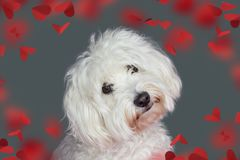 DOGE LOVE VALENTINES DAY. CUTE MALTESE TILTING THE HEAD SIDE AND LOOKING AT CAMERA. ISOLATED AGAINST GRAY COLORED BACKGROUND WITH stock photo