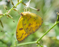 Orange Sulphur Butterfly Royalty Free Stock Image