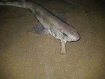 dogfish Стоковые Фото