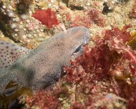 Dogfish hiding under a rock, atlantic ocean, Ireland Stock Images