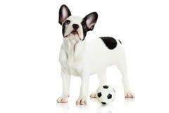 Dogfrench buldog na białej tło futbolu piłce nożnej Zdjęcie Stock