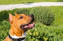 Dogg de Amstaff que mira para arriba en un día soleado Foto de archivo libre de regalías