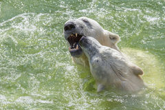Dogged polar bears Stock Photography