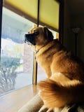 doggie большой имеет вещь любимчика к окну Стоковая Фотография