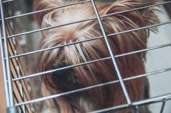 Doggie йоркширского терьера uncut в клетке Умный взгляд конца-вверх верхней части собаки Yorkies любимчика Стоковые Изображения