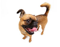Doggie. Dog's breed is petit brabanconne Royalty Free Stock Photos
