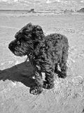 Doggie at Beach. Cute doggie blowing in the wind at the beach in France stock image