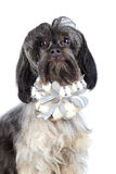 Portrait of a decorative doggie with a bow. Royalty Free Stock Photo