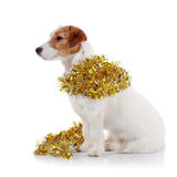 Doggie of breed a Jack Russell Terrier and Christmas tinsel Stock Image