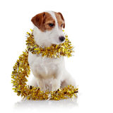 Doggie of breed a Jack Russell Terrier and Christmas tinsel Stock Photo